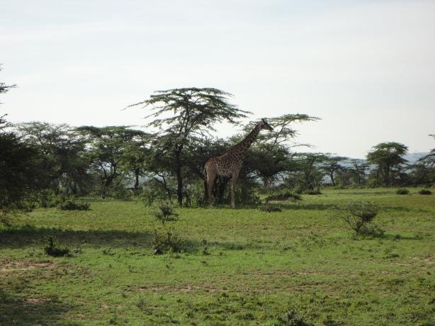 Giraffe in Masai Marai