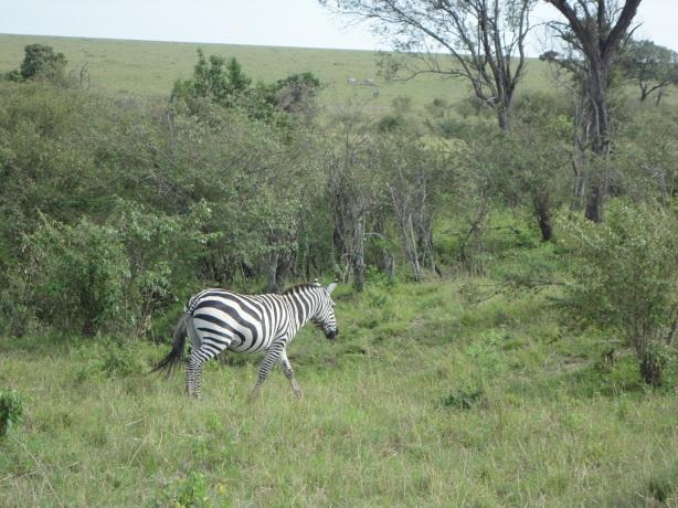 A lone zebra