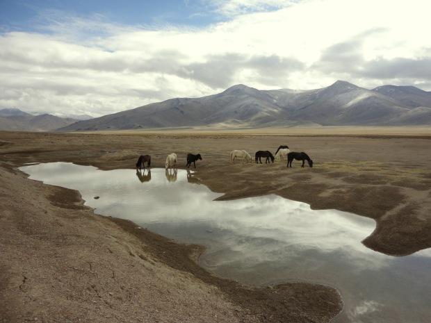 Wild Horses in Ladakh